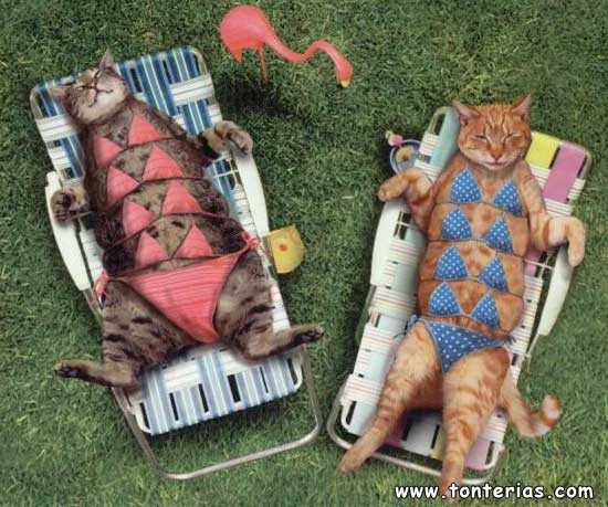 Gatos en bikini